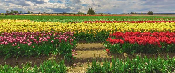 Tulip Town, Mt Vernon, WA.